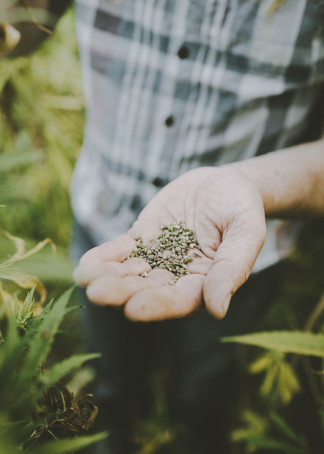 Close up of hemp seeds in hand.